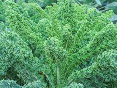 Lerchenzungen - Bio-Samen online kaufen - Bingenheim Biosaatgut