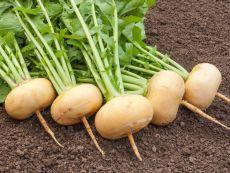 Petrowski – buy organic seeds online - Bingenheim Online Shop
