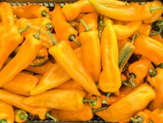 Corno Giallo - Bio-Samen online kaufen - Bingenheim Biosaatgut