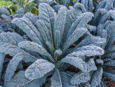 Nero di toscana (AS) – buy organic seeds online - Bingenheim Online Shop