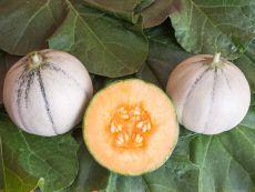 Murrmel (AS) - Bio-Samen online kaufen - Bingenheim Biosaatgut