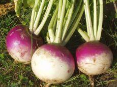 Blanc globe a collet violet – buy organic seeds online - Bingenheim Online Shop