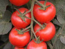 Bolstar Granda - Bio-Samen online kaufen - Bingenheim Biosaatgut
