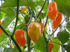 Habanero orange – buy organic seeds online - Bingenheim Online Shop
