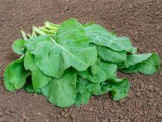 Verde da taglio (Schnittmangold) - Bio-Samen online kaufen - Bingenheim Biosaatgut