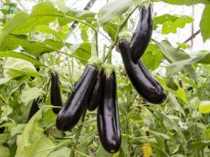 De Barbentane - Bio-Samen online kaufen - Bingenheim Biosaatgut