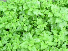 Neuseeländer Spinat - Bio-Samen online kaufen - Bingenheim Biosaatgut