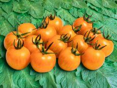 Goldiana (AS) - Bio-Samen online kaufen - Bingenheim Biosaatgut