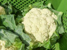 Amabile (KS-KOB-MG-AMB) – buy organic seeds online - Bingenheim Online Shop