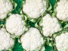 Daniel (KS-KOB-JJ-REV) – buy organic seeds online - Bingenheim Online Shop