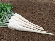 Osborne - Bio-Samen online kaufen - Bingenheim Biosaatgut