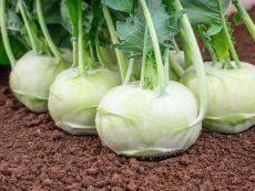 Enrico (KS-KOK-SAT-21) – buy organic seeds online - Bingenheim Online Shop