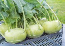 Fridolin – buy organic seeds online - Bingenheim Online Shop
