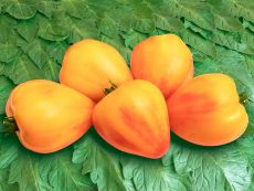 Sonnenherz (BSAG-TOT-RUS) - Bio-Samen online kaufen - Bingenheim Biosaatgut