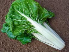 White Silver/Brilliant – buy organic seeds online - Bingenheim Online Shop