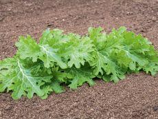 Wasabino – buy organic seeds online - Bingenheim Online Shop