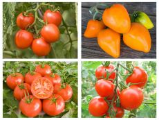 6 young plants - tomatoes – buy organic seeds online - Bingenheim Online Shop