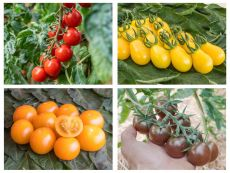Snacktomaten-Set – buy organic seeds online - Bingenheim Online Shop