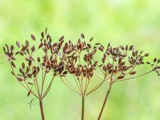 Kümmel - Bio-Samen online kaufen - Bingenheim Biosaatgut