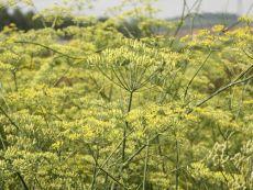 Gewürzfenchel - Bio-Samen online kaufen - Bingenheim Biosaatgut