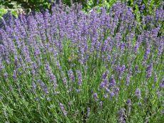 Lavendel – buy organic seeds online - Bingenheim Online Shop