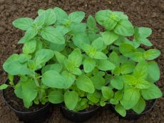 Majoran – buy organic seeds online - Bingenheim Online Shop
