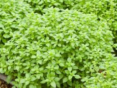 Buschbasilikum – buy organic seeds online - Bingenheim Online Shop