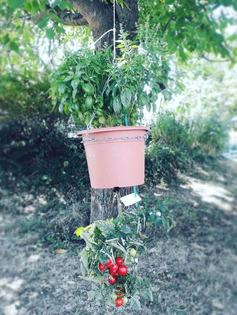 Über-Kopf-Tomate