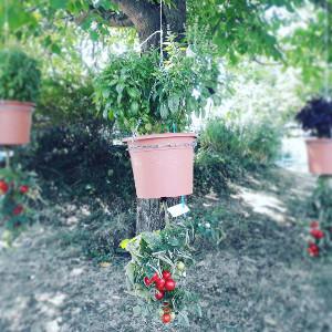 Tomaten und Basilikum upside down